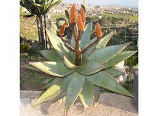10 seeds of aloe ferox, succulents, cacti, succulents seed C