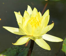 10 Seeds Yellow Lady Lotus Seeds China Rare Fragrance Water Pond Plants