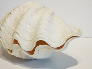 Vintage Giant TRIDACNA HIPPOPUS Clam Shell Pair.