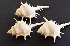 "6 Beautiful Unique Murex Turnispina Shells 2""-3 1/2"" Real Sea Shells Beach Craft"