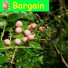 NATIVE WAMPEE,Clausena brevistyla,fruit tree,jam,citrus,spice,bush tucker,herb