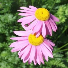 Tanacetum or Pyrethrum 'Robinson's Pink' / Hardy Perennial / 50 Seeds