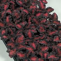 Coleus - Black Dragon - 25 Seeds