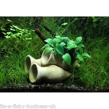 Anubias Bonsai Shrimp SAFE Amphora Cave with Anubias Plant Attached