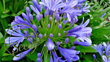 6 graines d/'AGAPANTHE BLANCHE H208 AFRICAN LILY SEEDS Agapanthus Umbellatus Alba