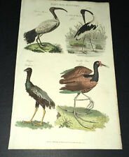 Hand-colored Natural History Engraving from PANTOLOGIA 1813 Water Birds