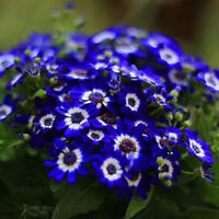 50pcs Blue Daisy Seeds Awesome Easy to Grow Flower Seeds DIY Garden