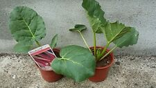 Rhubarb 3 plants of Victoria in 11cm pots