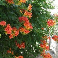 20 Seeds Trumpet Creeper Vine, Campsis radicans, Cow Itch Vine, Hummingbird Vine