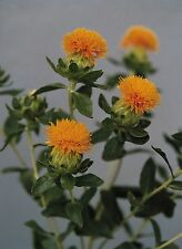 Herb - Saffron - Orange Thistle - 25 Seeds