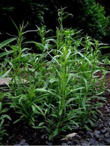 Tarragon -Artemisia Dracunculus- 200 seeds