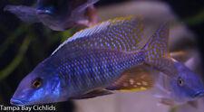 6 Fish Colony Taeniolethrinops Praeorbitalis  1.25 in  African Cichlid