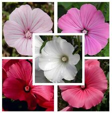 Rose Mallow Lavatera Trimestris Mix 250 seeds CombSH D71