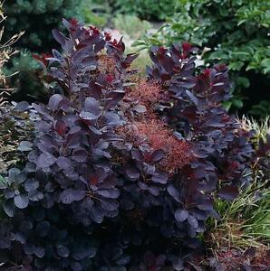 Cotinus Coggygria 'Royal Purple' / Smoke Tree in 2L Pot, Deep Purple Leaves