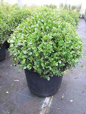 Buxus microphylla Faulkner Kugel - Buchsbaum Faulkner Kugel - 30 - 40 cm