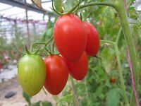 ROMA TOMATO SEEDS * 20 SEEDS  * FEW SEEDS  * CANNING * SALADS *