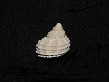 TURBO CASTANEUS- FOSSIL SEASHELL BERMONT FORMATION WITH COLOR LOT# 3520