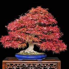 Acero Giapponese Viola-ACER PALMATUM ATROPURPUREUM - 10 SEMI-ALBERO BONSAI -