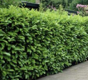 50 seeds English laurel /cherry laurel hedging seeds freshly harvested Evergreen