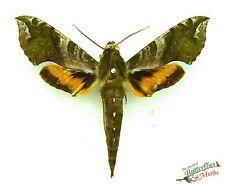 Xylophanes pluto SET x1 sphinx hawk-moth Guatemala sphingidae green moth art
