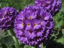 NEW! 30+ VIOLET BLUE PRIMULA PRIMROSE FLOWER SEEDS / PERENNIAL / PARTIAL SHADE