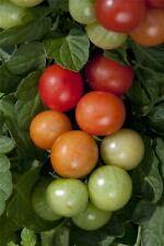 Vegetable - Tomato - Christmas Grapes - 150 Seeds