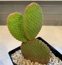 "Opuntia Microdasys ""La Vila"" Rare Cactus Cacti Succulent Real Live Plant"