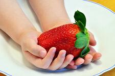 Riesen Erdbeere - die größten der Welt zum selberpflanzen (50 Samen) - zuckersüß