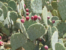 10 Seeds - Texas Prickly Pear Cactus - Opuntia engelmannii