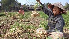 True Jicama Seeds,Pachyrhizus erosus a.K.a ,Climbing Yam Bean, Mexican Turnip