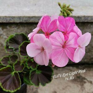 Pelargonie Bulls Eye Light Pink  Geranie Blattschmuck   Geranien  Buntlaubige