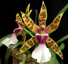 ORCHID MILTONIA CLOWESII - Blooming size pseudobulbs -Species Orchid Mature size