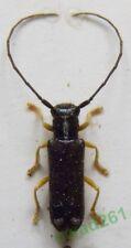 Menesia bipunctata (Zoubkoff, 1829)  Poland