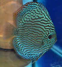 X2 CHECKERBOARD BLUE DISCUS CICHLID SOUTH AMERICAN SM/MD  FRESH WATER LIVE FISH