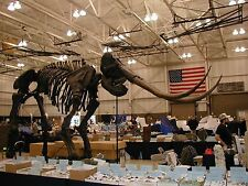 Replica Stegodon Skeleton