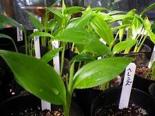 Musa bauensis - Bau Banana - 10 Fresh Seeds