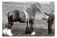 rp15081 - Stallion Shire Horse - Markeaton Loyal Harold - photo 6x4