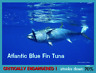 The Blue Fin Tuna, an Endangered Animal Postcard by PostcardsToSaveThePlanet.