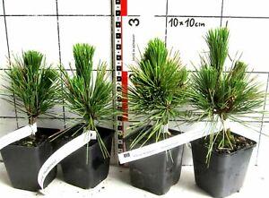 Pinus thunb. ++THUNDERHEAD++   jap. Schwarzkiefer-Sorte