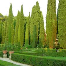Tree Seeds 100 Pcs Italian Cypress UK (Cupressus Sempervirens Stricta) Seeds Hom