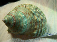 Huge Turbo Imperialis SeaShell Shell With Operculum Nice Rare condition