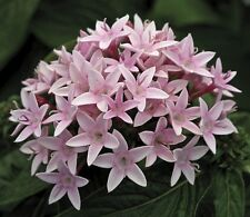 Pentas Seeds Starla Appleblossom 25 Pelleted Seeds