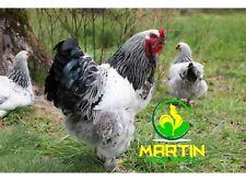 12+ Light Brahma Hatching Eggs (Large Fowl) Npip Certified