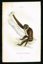 1834 Agilis Gibbon Monkey with Young, Hand-Colored Antique Engraving - Lizars