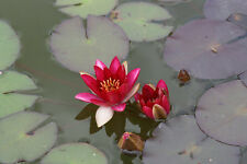 Pyg Rubra Dwarf  water lily - pond plants water lilies aquatic plants