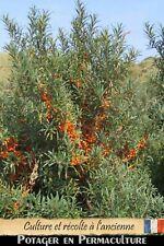 Argousier auto fertile -  1 Bouture [Jeune plant] - Sea buckthorn
