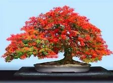Red Royal Poinciana Delonix Regia Tropical Flamboyant Tree Seeds (10seeds) T-026