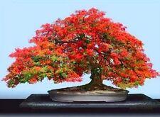 Red Royal # Poinciana Delonix Regia Tropical Flamboyant Tree Seeds (10Nos) T-026
