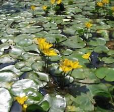 Nymphoides peltata  1 plante  bassin  Faux-nénuphar