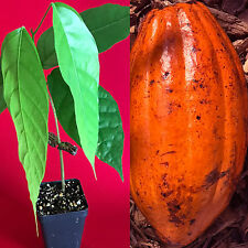 TRINITARIO Theobroma Cacao Cocoa Chocolate Fruit Tree Potted Plant RED Medium